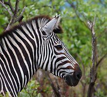 Zebra starring by Bernhard Bekker