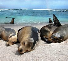 Sealions just Coolin' it by Lucy Hollis