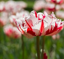 Tulips in Spring by Kelly Patrick