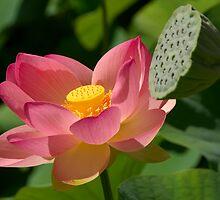 Sacred Lotus (Nelumbo nucifera) by Daniel Attema