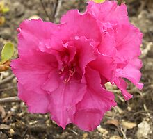 Pink Azalea Flower by SusannahFry