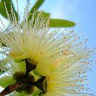 Flowering Eucalyptus by Kathie Nichols