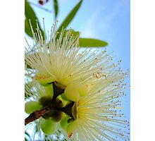Flowering Eucalyptus Photographic Print