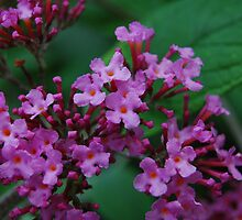 Buddleia Flower by SusannahFry