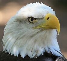 Proud Eagle by Gregg Williams