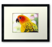 Surly! Not another Photo! - Sun Conure - NZ Framed Print
