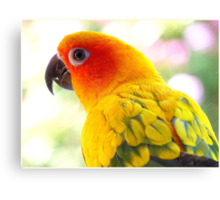 Surly! Not another Photo! - Sun Conure - NZ Canvas Print