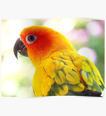 Surly! Not another Photo! - Sun Conure - NZ Poster