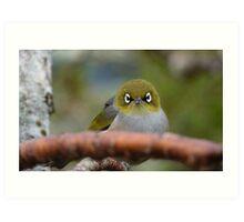 What now! Silvereye - NZ - Southland Art Print