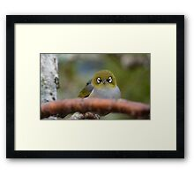 What now! Silvereye - NZ - Southland Framed Print