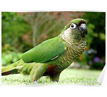 Garden Inspection Underway! - Maroon-Bellied Conure - NZ Poster