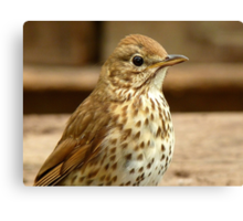 I'm As Beautiful As My Song Is..! - Song Thrush - NZ Canvas Print