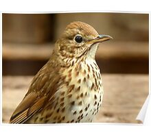 I'm As Beautiful As My Song Is..! - Song Thrush - NZ Poster