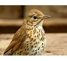 I'm As Beautiful As My Song Is..! - Song Thrush - NZ Photographic Print