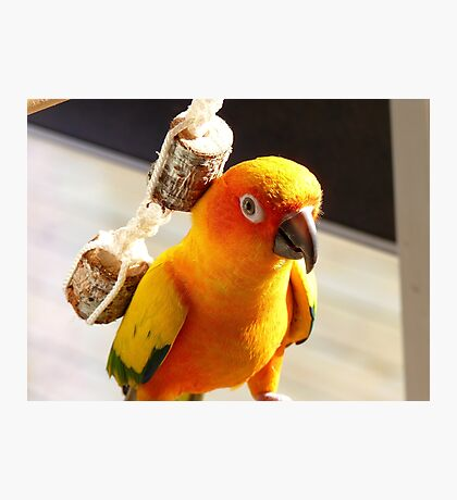 """I'm Backpacking On The """"Cheep""""!!!- Sunconure - NZ Photographic Print"""
