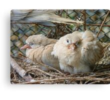 Bob... I Can't Wait To Grow Up!! - Baby Collard Doves - NZ Canvas Print