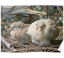 Bob... I Can't Wait To Grow Up!! - Baby Collard Doves - NZ Poster