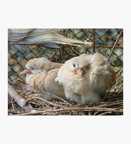 Bob... I Can't Wait To Grow Up!! - Baby Collard Doves - NZ Photographic Print