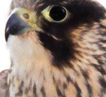 Peregrine Falcon (Colour Pencil Effect) Sticker