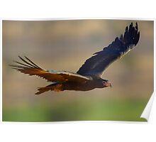 Wedgetail Eagle Cruising - Simpson Desert Poster