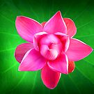 Pink Water Lilly by Frank  McDonald