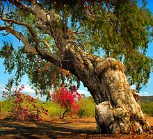 Ancient Paperbark Tree by Frank  McDonald