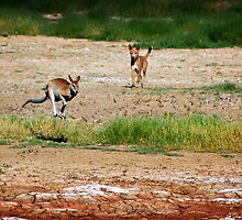 Wallaby Flees Dingo. by Frank  McDonald