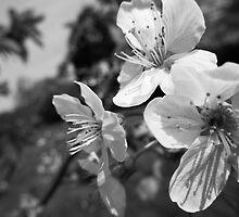 BLOSSOMS OF SPRING by BailanduSilueta