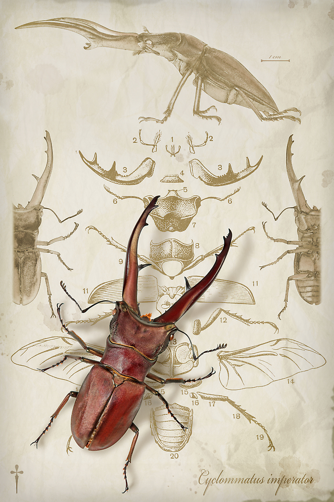 Stagbeetle, a Bauplan by blepharopsis