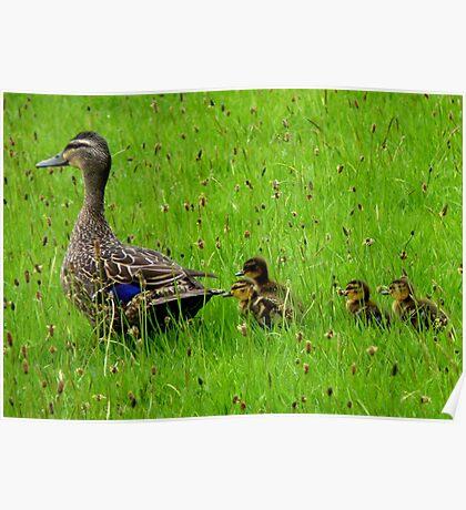 Come on Kids Move Along! - Mallard Ducks - NZ Poster