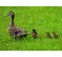 Come on Kids Move Along! - Mallard Ducks - NZ Photographic Print