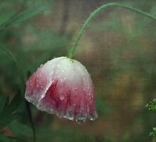 Soggy Poppy by Clare Colins