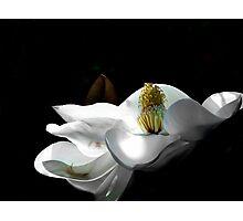 Magnolia Blossom 6 Photographic Print