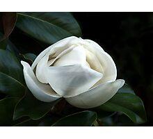 Magnolia Blossom 4 Photographic Print