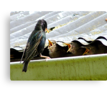 Don't Talk With Your Mouth Full! - Starlings Chicks - NZ Canvas Print