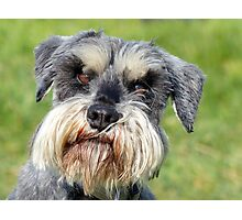 Was That A Real Question? - Schnauzer - NZ Photographic Print