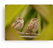 That's A Very Strange Eye Looking At Us.. - Sparrow Fledglings - NZ Canvas Print