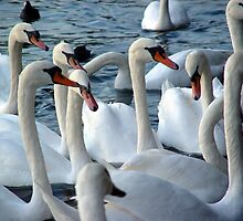 Swans in Lake Zürich by kuntaldaftary