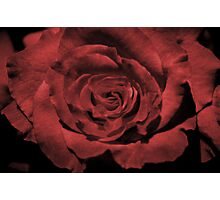 Velvet Rose Photographic Print