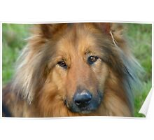 Dreaming Of My Wee Lassie! - Cross Mix Collie Dog - NZ Poster