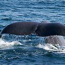 Sperm Whale Fluke by Steve Bulford