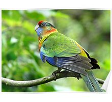 Is Someone Going To Feed Me!  - Baby Rosella - NZ Poster