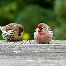 His & Hers! - Redpoll - NZ - Southland by AndreaEL