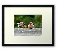 His & Hers! - Redpoll - NZ - Southland Framed Print