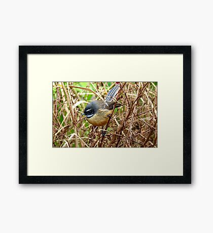 The Thorn Birds - Fantail on Thorny Branch - NZ Framed Print