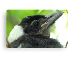 Loosing The Baby Fluff! - Magpie - NZ Canvas Print