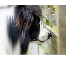I Keep A Close Watch On These Sheep Of Mine... Border Collie - NZ Photographic Print
