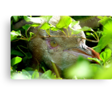Got My Yellow Eye On You! - Yellow-eyed  Penguin - Rarest Penguin in the world - NZ Canvas Print