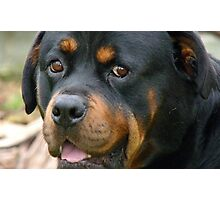 Devoted! - Rottweiler - Dog - NZ Photographic Print