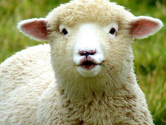 Oooh! La La... - Baby Lamb - Sheep - NZ by AndreaEL